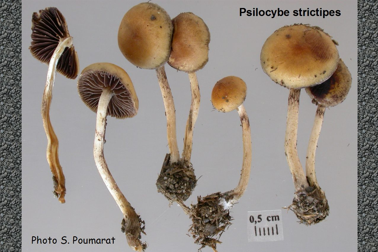 About: Psilocybe strictipes