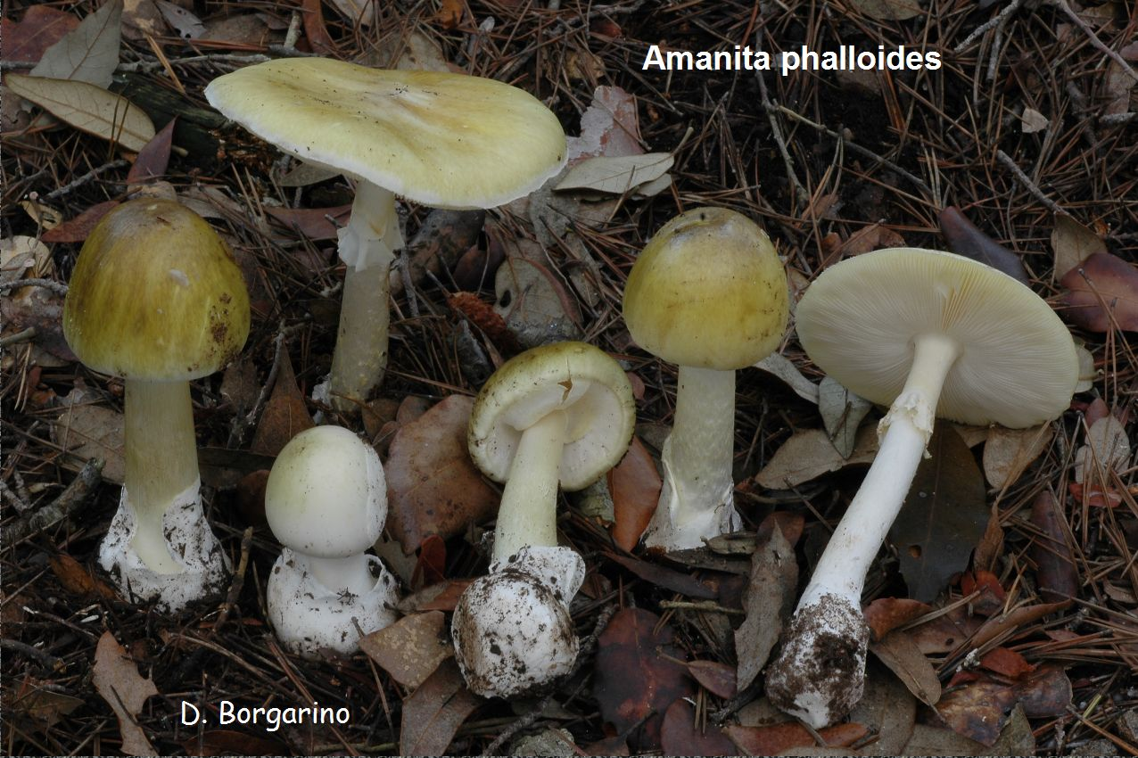 Amanita Mushrooms Identification http://www.shroomery.org/forums/showflat.php/Number/12194913
