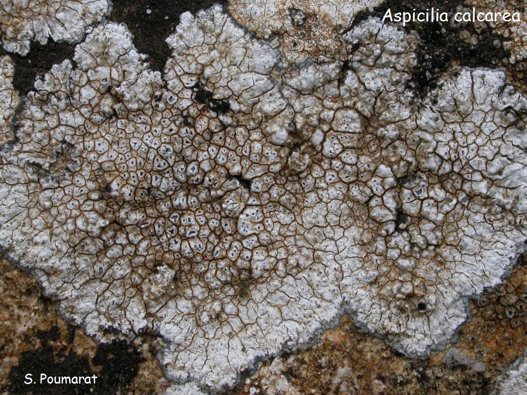 aspicilia calcarea (4)
